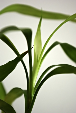Fresh green bamboo leaves in front of white background, isolated.