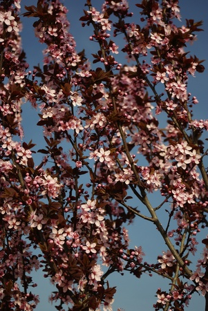 Branches with pink blossoms against clear blue sky, blured background.