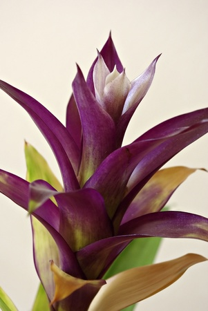 Isolated guzmania flower against white wall, indoor plant.