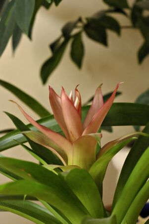 Isolated guzmania flower against blurred background, indoor plant.