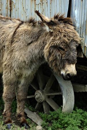 jack ass: Young donkey at domestic farmland. Stock Photo