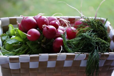 Small basket with fresh red radishes and dil against blurred background.