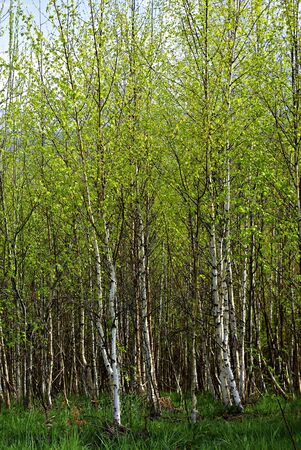 Young birch forest in springtime sunny day
