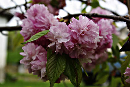 A branch with fresh pink blossoms coverd with rain drops at cold spring day