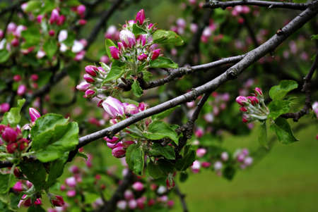 A branch with fresh pink buds at cold spring day