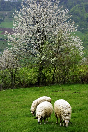 Sheeps eating fresh green grass at meadow, white blossom tree at background  photo
