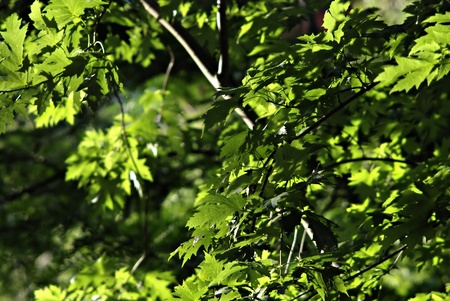 Platanus fresh green leaves and crown illuminated by the sun at sunny summer day