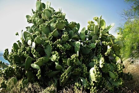 A big cactus bush against clear blue sky at sunny summer day  photo