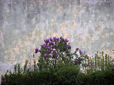 Small bush of pink hyacinth against old gray wall