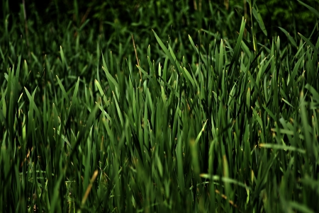 Closeup of green fresh high grass lit by sun at sunny summer morning. photo