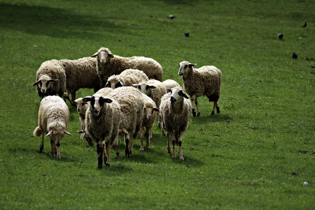 A herd of sheep on a green grassy meadow on a sunny summer day. photo