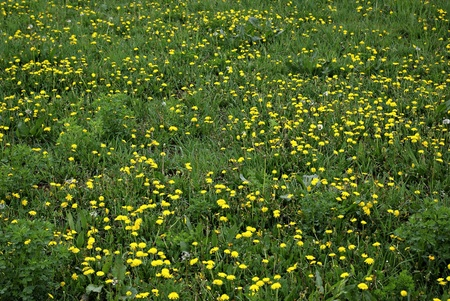 Green meadow full of dandelions bloom.
