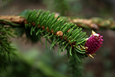 Close up picture of blossomed pine branches. photo