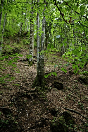 Deciduous forest on the mountain with the young leaves in the spring. photo