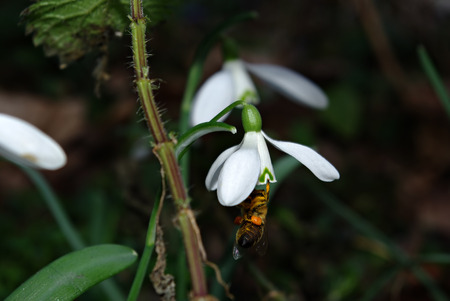 Fresh snowdrops in deep forest shadow lit by sun beam and bee collecting honey.