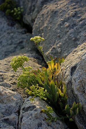 Wild flower grovning in crack rocks lit by sun.