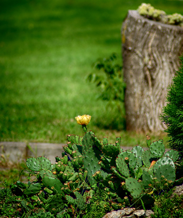Yellow cactus flower and green grass at sunny summer day.
