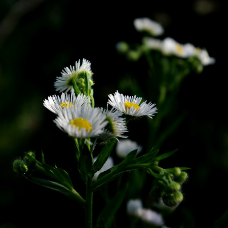 White daisy with fresh green leaves at summer sunny day. Stock Photo