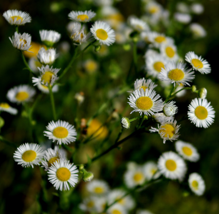 White daisies and fresh green grass at sunny summer day.