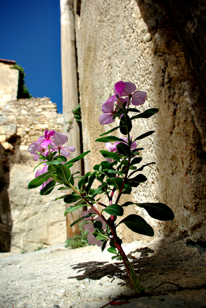 Pink flower is growing from crack at street at sunny summer day.