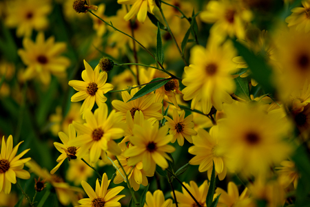 A lot of yellow flowers and green leaves at summer sunny day.