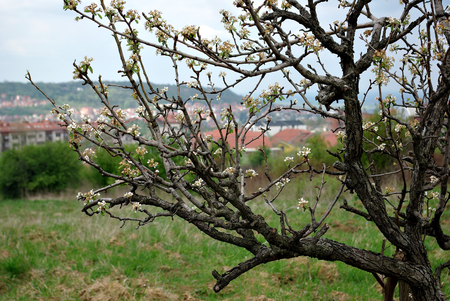 Blooming tree in front city panorama at spring sunny day. Stock Photo