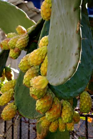 Prickly pear, cactus fruit, fresh on cactus tree.