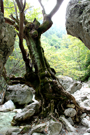 Old hollow leafless twisted tree in forest. Stock Photo