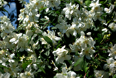 Tree with lot of white flowers and green leaves at sunny summer day. Stock Photo