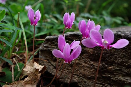 Few pink cyclamen in woods in front of green grass at sunny summer day. Stock Photo