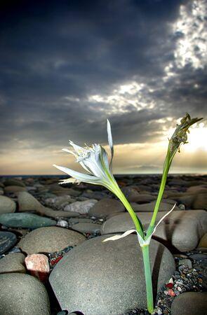 Cretan lily at beach against cloudy sky and sun ray.
