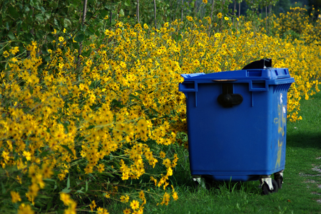 A lot of yellow flowers, green leaves and big blue plastic garbage container at summer sunny day. Stock Photo