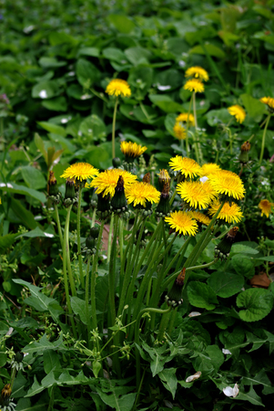 Dandelion yellow flower in green grass.
