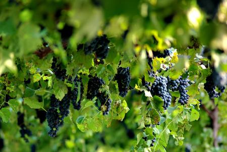 Grapes at vineyard and green leaves at sunny summer day. Stock Photo