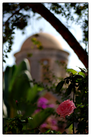 Pink rose in front of aut of focus church at sunny summer day.