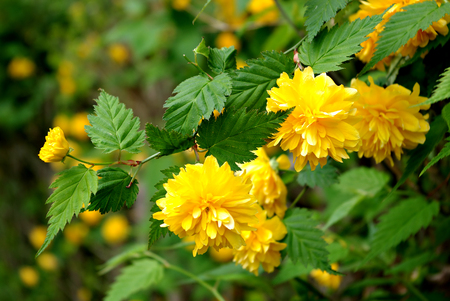 Yellow flowers and fresh green leaves at sunny summer day.