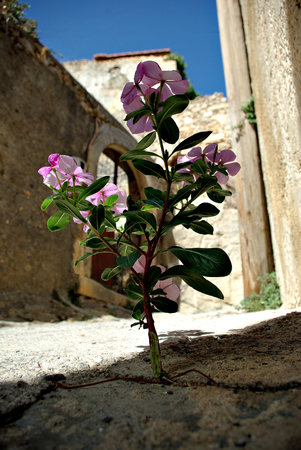 Purple flower growing from crack at street at sunny summer day. Stock Photo