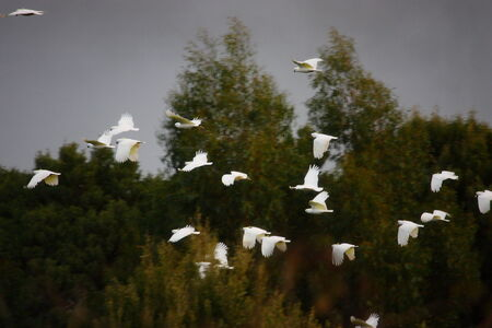 cockatoos: flying white cockatoos