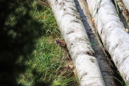 weasel: small weasel