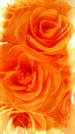 orange rose: Orange Rose blooming