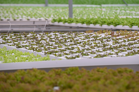 good color: Vegetable in the Hydroponic farm. Hydroponics method of growing plants using water without soil Stock Photo