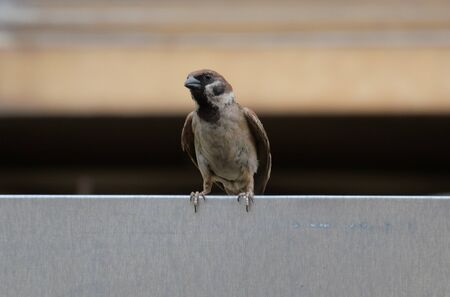 A sparrow spreads its wings a little while standing on the wall. 写真素材