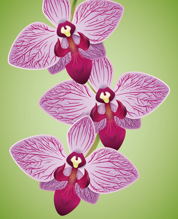 Beauty orchids with purple veins and fuchsia labellum isolated in green background.