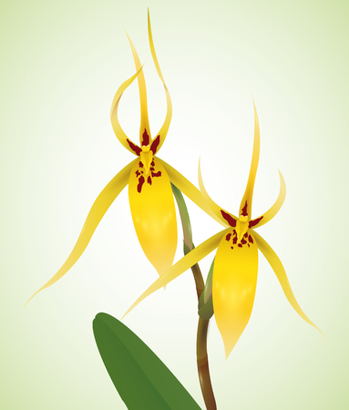 sepals: Thin yellow petals with patches in a beautiful orchids isolated in green background.