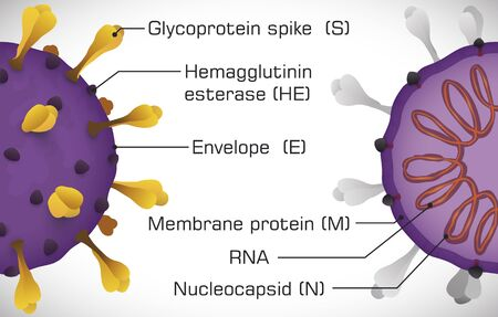 Coronavirus model sliced, one with external part and the other with internal view to show its parts: glycoprotein spike, hemagglutinin esterase, membrane protein, enveloped, nucleocapsid and RNA.