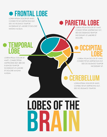lobes: Lobes of The Brain  Infographic Vector Design