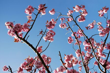 Pretty pink and white blossoms on a tree showing that spring is here photo