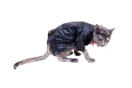 tough: Tough cat shown by a colorful cat wearing a leather jacket with a tough expression Stock Photo