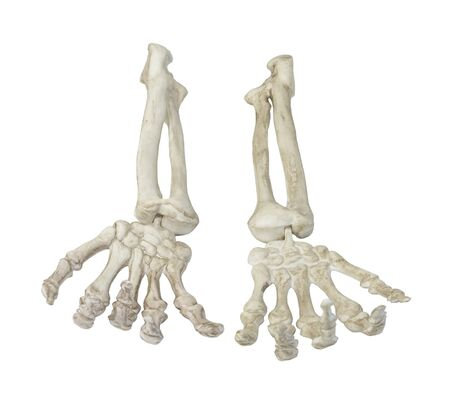 Skeleton Hands Palms Up Towards You - path included