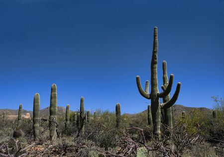 Tall Saguaro Cactus Growing Against the Bright Blue Sky 写真素材